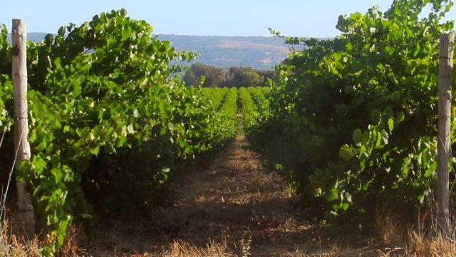 Row of vines at Mclaren Vale