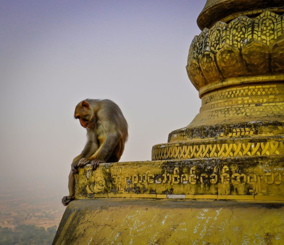 Burma Pictures: Monkey at Mount Popa temple