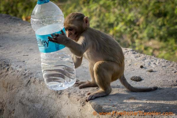 Monkey with water bottle: india Travel Tips
