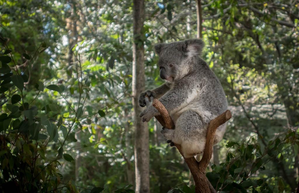 koala cuddle brisbane