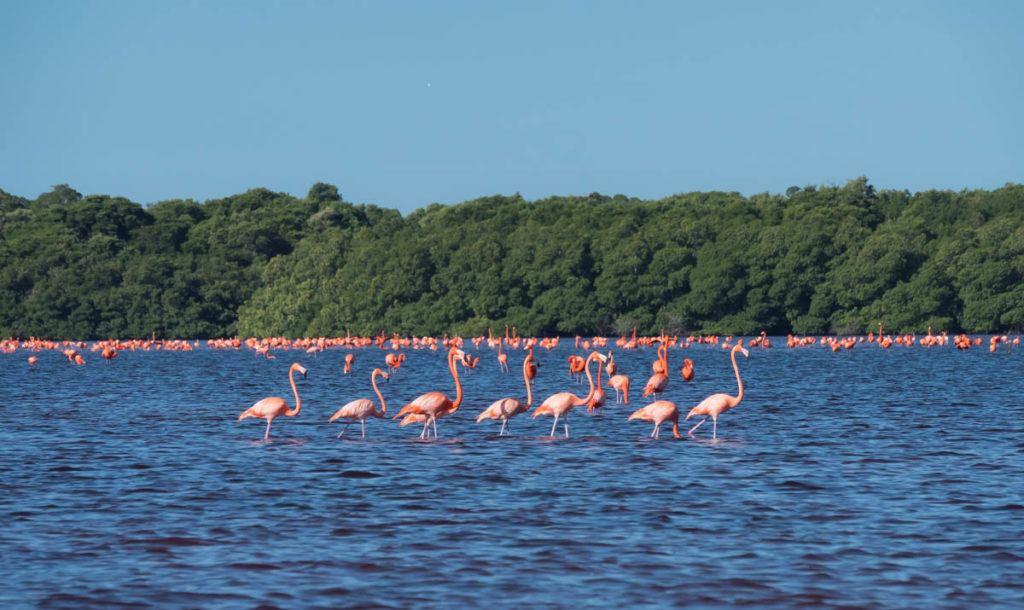 celestun biosphere reserve tour - celestun mexico - merida mexico flamingos