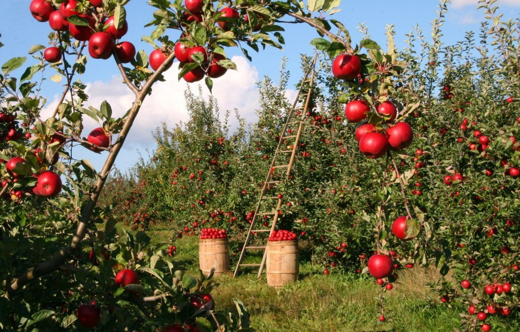 History Of Cider - Apple Cider Alcohol & History Of Apples: Orchard